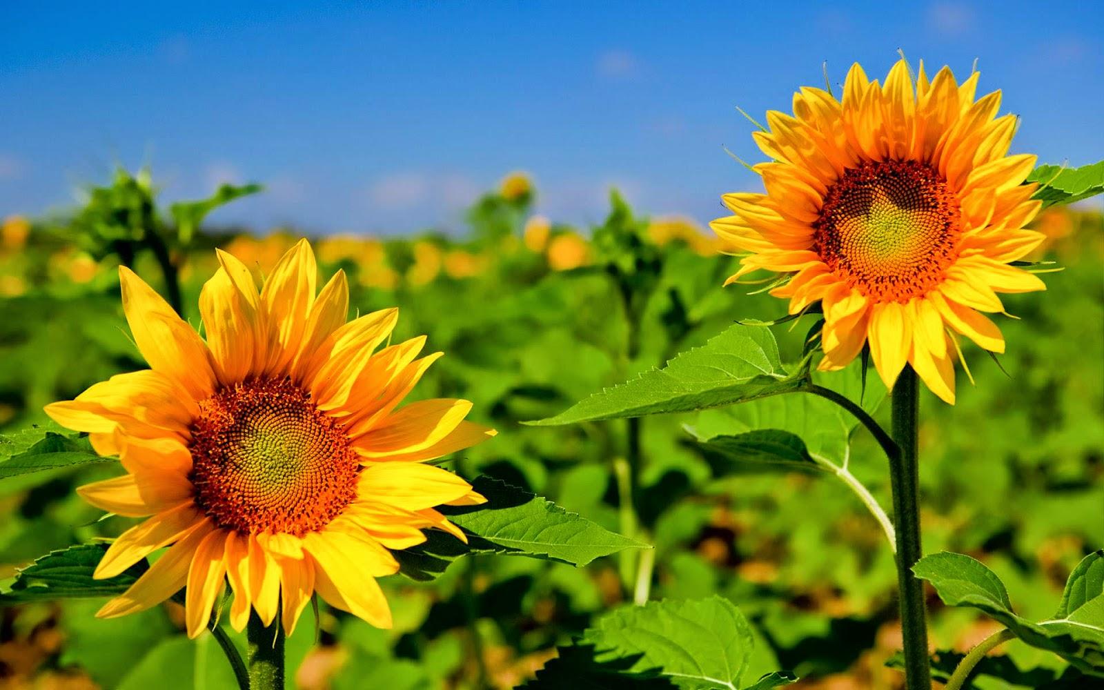 wallpaper bunga matahari,flower,sunflower,flowering plant,plant ...